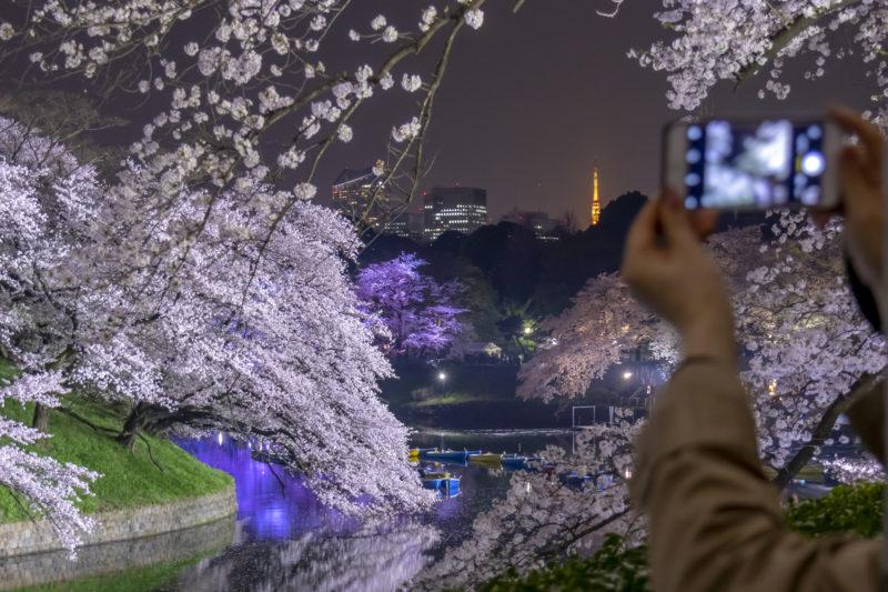 千鳥ヶ淵の夜桜(Illuminated cherry blossoms along Chidori-ga-fuchi)