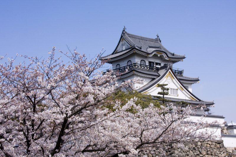 岸和田城と桜(Kishiwada Castle and cherry blossoms)