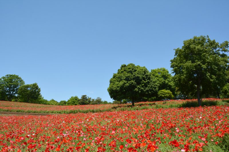 真っ赤な花が咲き乱れる昭和記念公園(Showa Kinen Park brimming with red flowers)
