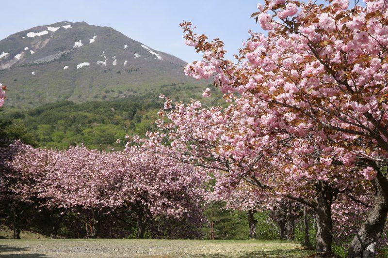 昭和の森の八重桜(Yaezakura in Showa no Mori Park)