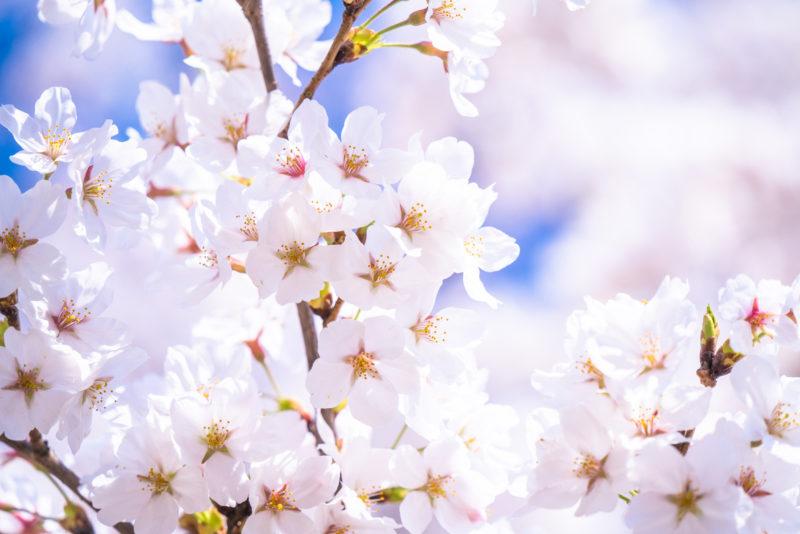 満開の桜(Cherry Blossoms in full bloom)