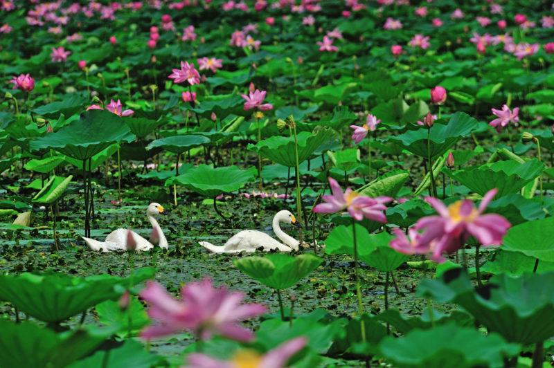 夏の瓢湖の景色(Scenery of Hyoko Lake in summer)