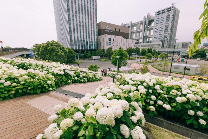 シンボルプロムナード公園の紫陽花(Hydrangea coloring Symbol Promenade Park)